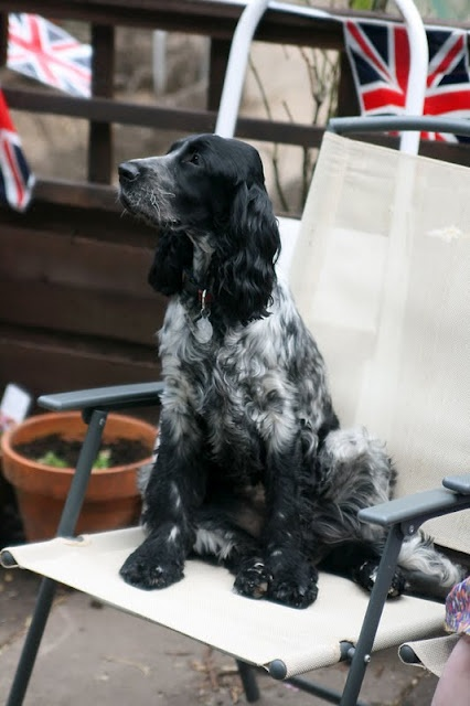 Jubilee dog, poppy the blue roan cocker spaniel is a patriotic girlie