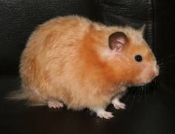 Copper satin LH Syrian Hamster   AMAZIN'SYRIAN: ALL TYPES OF SYRIAN HAMSTERS