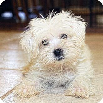 Pittsburg, CA - Maltese/Poodle (Miniature) Mix. Meet Hawthorn, a puppy for adoption. http://www.adoptapet.com/pet/16273192-pittsburg-california-maltese-mix