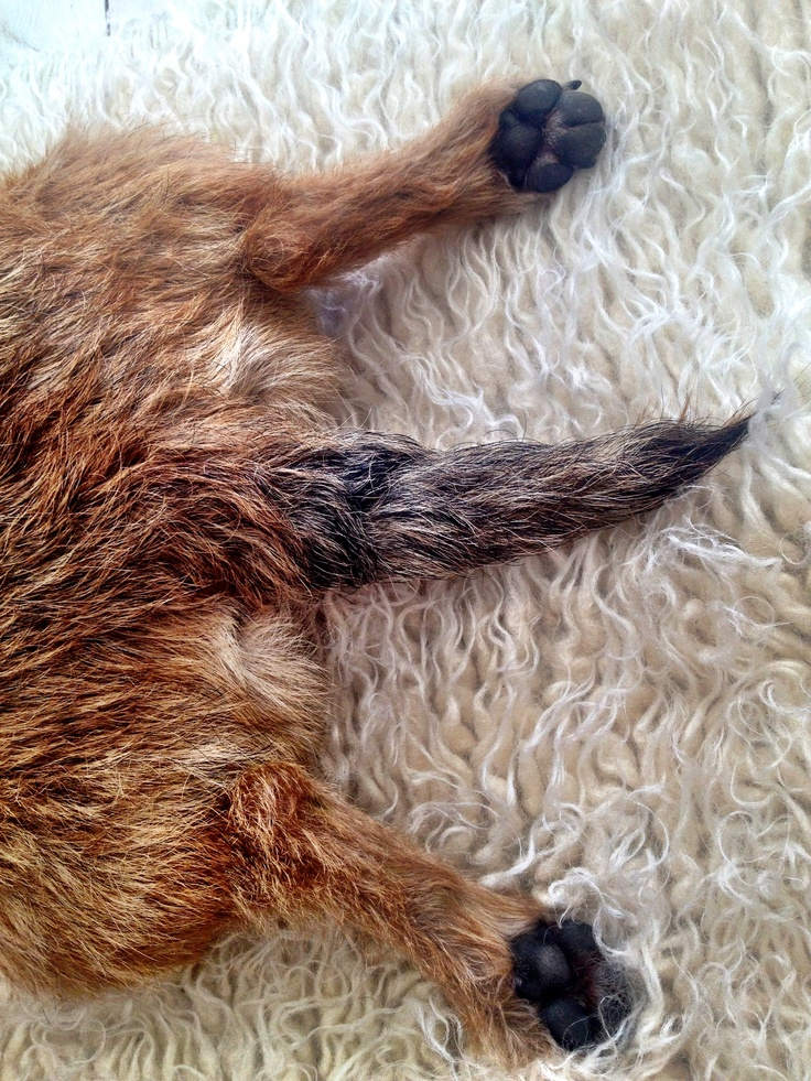 Border Terriers - love how they lie with their legs like this!!