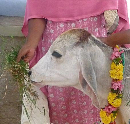 Go Pongal. honors the cows and the bulls.  washed, horns painted, flower garlands placed around their necks and in some places a special ritual is performed by a priest in their honor. Tamil Nadu