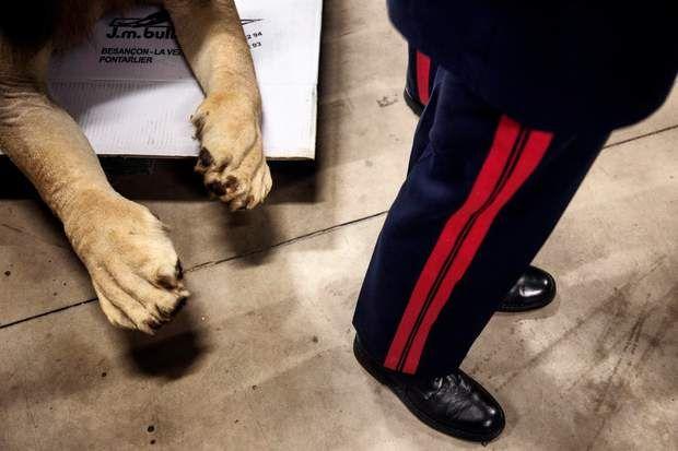 Pattes de lionOn croirait presque que ses pattes vont bouger et qu'il va griffer ce gendarme en uniforme. Hélas, ce lion est bel et bien mort. Avec cinq autres fauves empaillés et un buste de crocodile, il a été offert en donation au Museum national d'histoire naturelle de Paris, le 16 février 2016. Les trophées de chasse et autres «produits» braconnés (ivoires, plumes, os, viande de brousse etc.) que les douanes françaises parviennent à récupérer sont, soit détruits, soit, comme ici, remis…