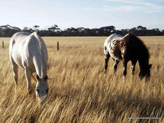 Spear grass (Stipa scabra) for horse pasture