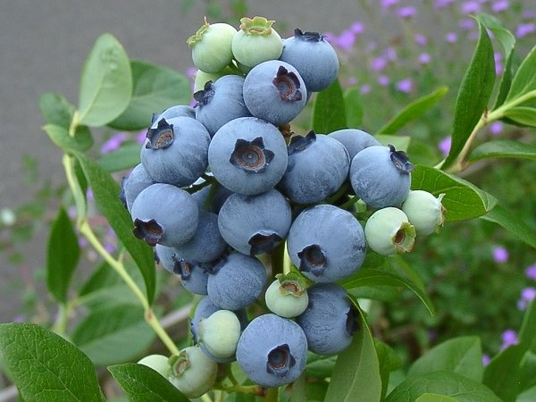 Northern Highbush Blueberry Echota http://berryslife.com