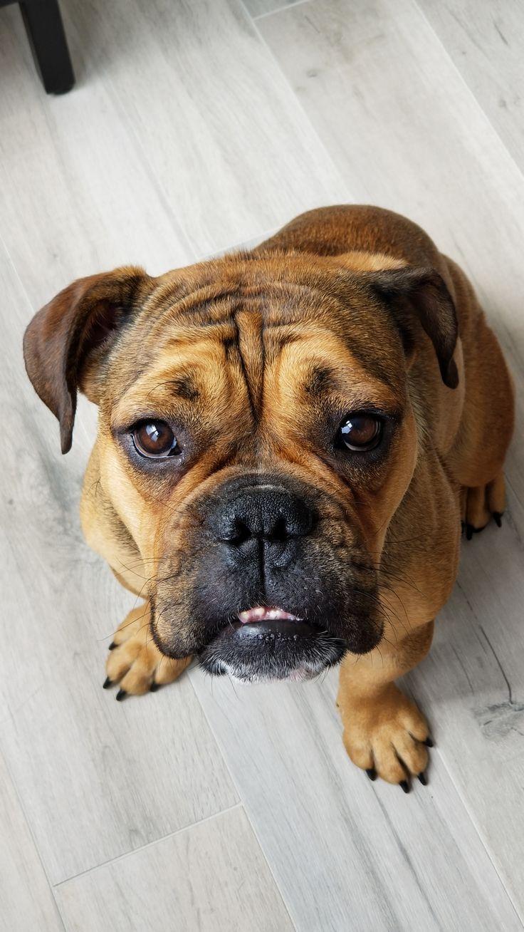 Rescued her a week ago (Boxer-Bulldog) http://ift.tt/2fSIY5P