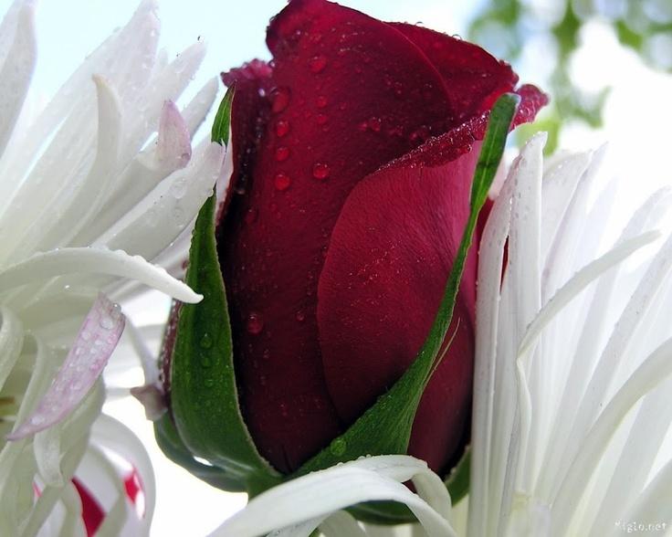 Single Red Rose Wallpaper Flower Bud Beautiful Flowers B