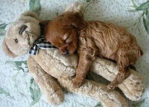 oh. my. god.Nap Time, Bears Hug, Cute Puppies, Little Puppies, Puppy Love, Teddy Bears, My Heart, Cocker Spaniels, Animal