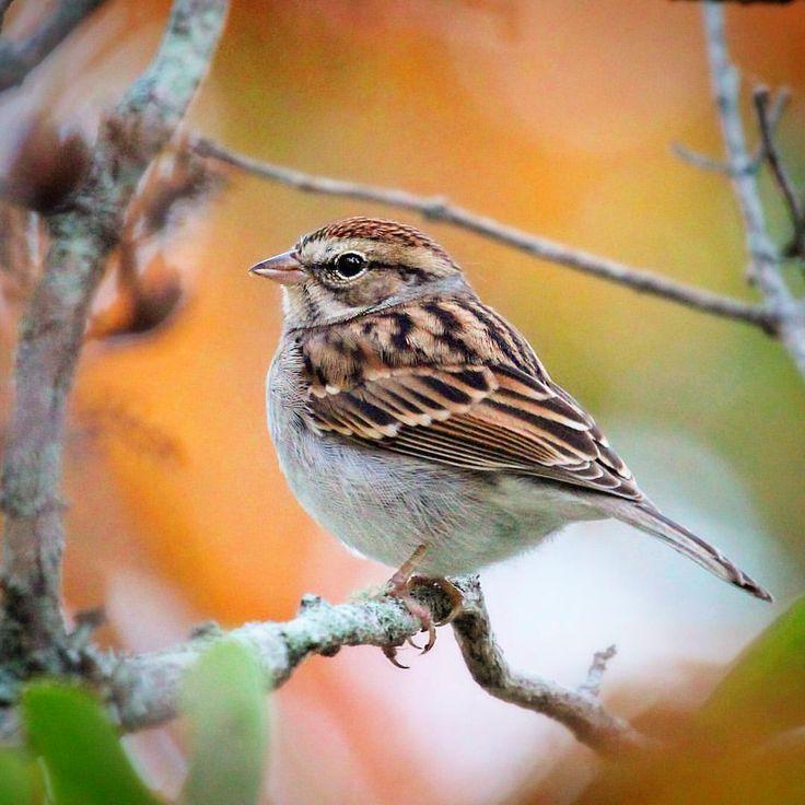 Chipping Sparrow #chippingsparrow #sparrows #woodshole #capecod #birds #birding…