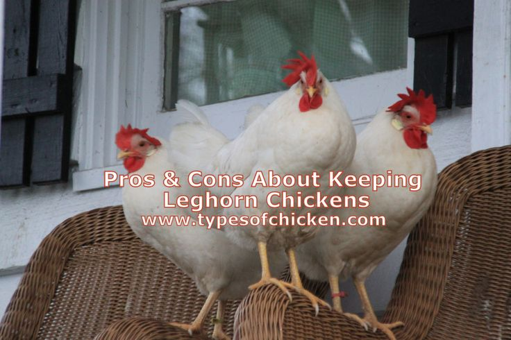 Everything you should know about Leghorn Chickens. Great addition to your flock. Pros & Cons About Keeping Leghorn Chickens!