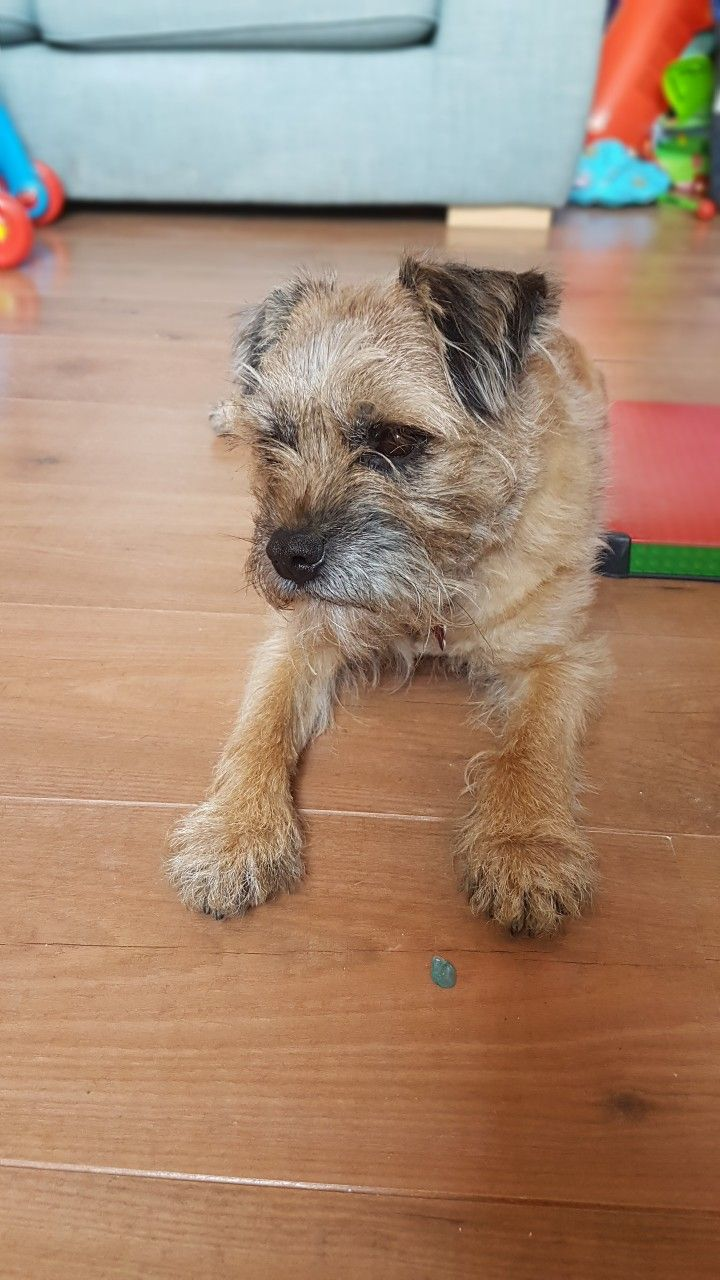 Hugo Border Terrier Just Had A Trim Border Terrier Brown Dog Dogs