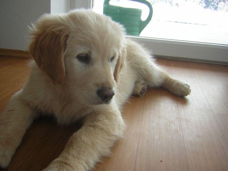 Golden Retriever Puppy .