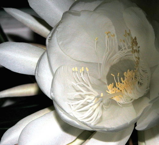 24 best night blooming cereus images on pinterest moon garden night blooming cereus mightylinksfo Image collections