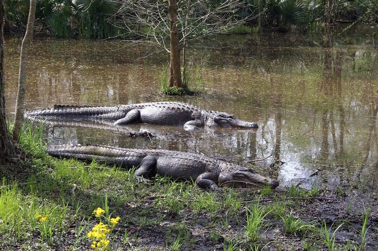 Alligators. As Reptiles, they are cold-blooded meaning that they need warm from the sun to survive. You can commonly find alligators basking in the sun.