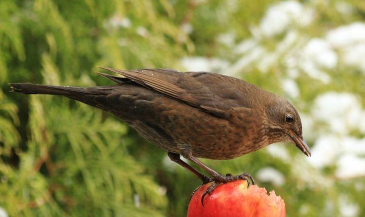 merel vrouwtje met appel