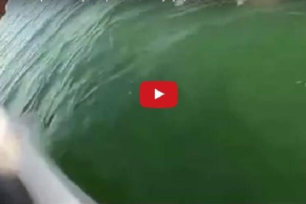 Такого аппетита мир еще не видал: Гигантский морской окунь проглотил акулу целиком!