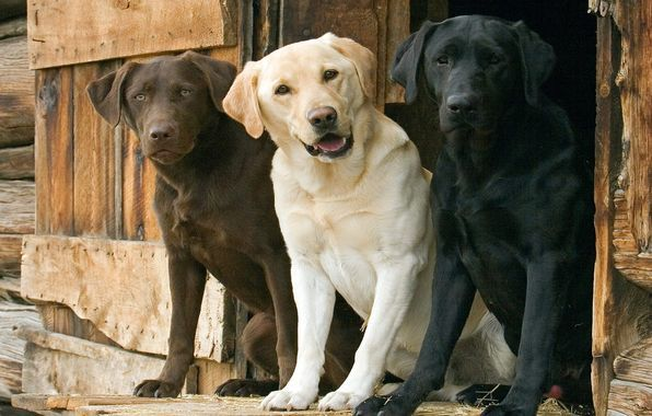 labradors :) - no home is complete without them
