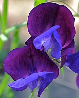 There is always magic in the garden when you plant sweet-peas.