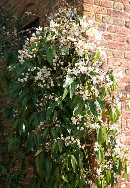 Clematis armandii (group 1). Garden care: Mulch around the roots each spring with well-rotted garden compost. group one flower early in the year and should be pruned after flowering in mid- to late spring.
