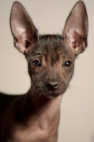 The Xoloitzcuintli, pronounced SHOW-LOW-ETZ-QUEENT-LEE, is also known as the Mexican Hairless Dog. The breed's history is long and fascinating, going all 3500 years back to the Aztecs and Mayans. Back then, people believed the Xolo would safeguard the home from evil spirits as well as intruders.   17 Dope Ass Dog Breeds You've Never Heard Of And Need Right Now