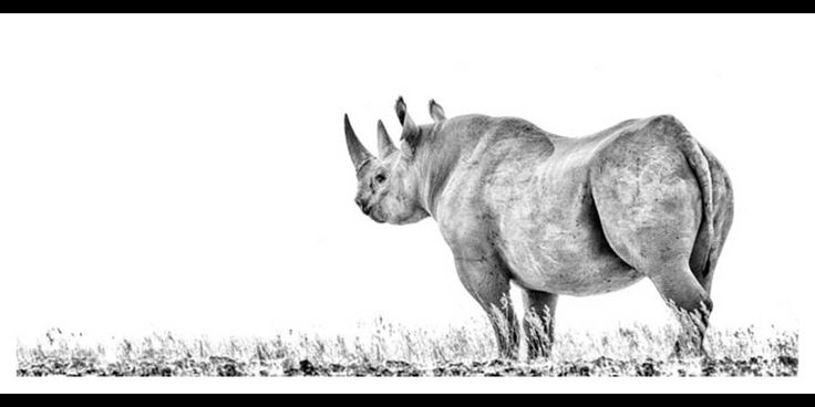 Black and white fine art photographic print of an endangered desert adapted black rhino