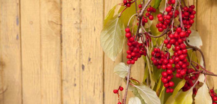 Klanopraška čínská – silný pomocník na stres a únavu. Další velmi účinná bylinka, se kterou máme praktické zkušenosti: Klanopraška čínská- Schizandra