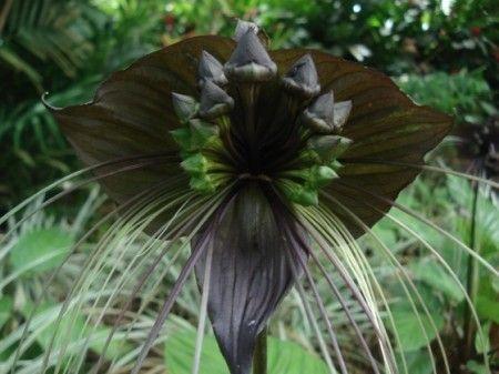 Les fleurs noires ont toujours été très convoitées, car elles sont rares, voire inexistantes. Aussi, à force de recherches et de bouturages, quelques variétés offrent, de nos jours, une couleur allant du pourpre très foncé au noir presque pur. Alors,...