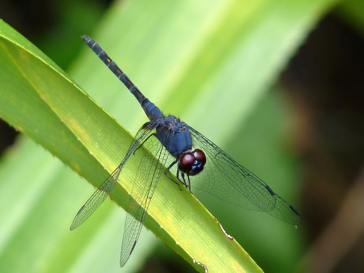 https://flic.kr/p/cqJJLo | Black Stream Glider | Trithemis festiva | The Black Stream Glider or Indigo Dropwing (Trithemis festiva) is a tropical Asian species normally found at flowing streams with rock and gravel. Mature male Trithemis festiva are entirely dark (i.e. dark blue rather than black) overlaid with a fine whitish pruinescence. Young males look similar to females, sporting extensive yellow patches on their abdomen. In addition, females especially often have extensive dark…