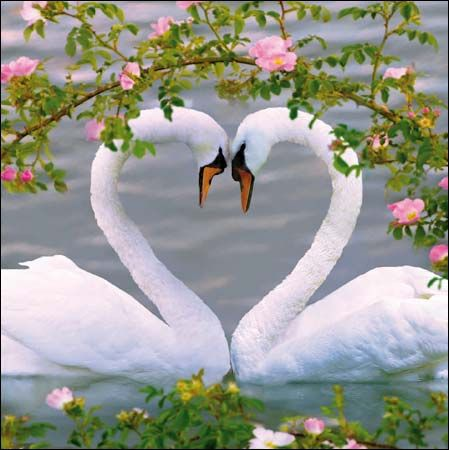 Spring Swans~a beautiful heart