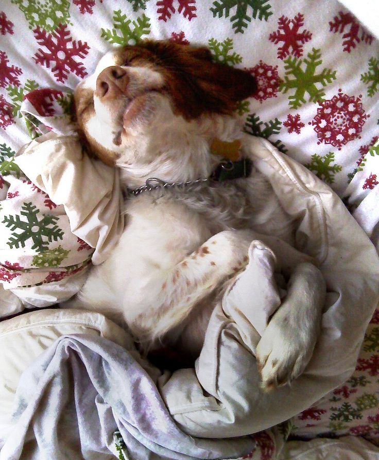 Brittany Spaniel dog art portraits, photographs, information and just plain fun. Also see how artist Kline draws his dog art from only words at drawDOGS.com #drawDOGS http://drawdogs.com/product/dog-art/brittany-spaniel-dog-portrait-by-stephen-kline/