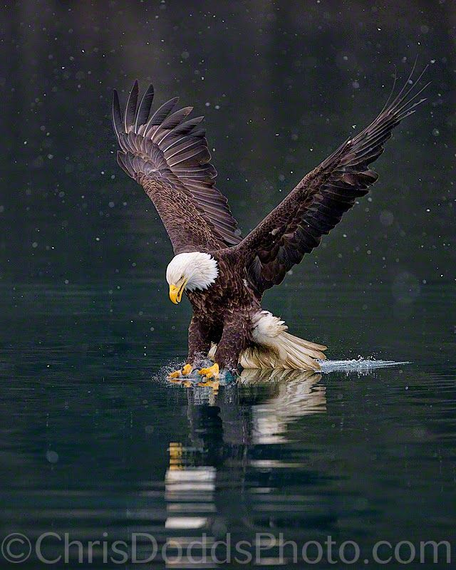 A horizontal image of an American Bald Eagle fishing in a winter snow storm or blizzard at Kachemak Bay near Kenai Fjords National Park, Alaska. The Bald Eagle (Haliaeetus leucocephalus, Pygargue a Tete Blanche) is a bird of prey found in North America. It is the national bird and symbol of the United States of America. This sea eagle has two known sub-species and forms a species pair with the White-tailed Eagle. Its range includes most of Canada and Alaska, all of the contiguous United ...
