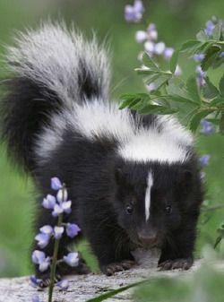 17 Best Images About Skunks On Pinterest Minnesota Pets