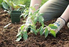 Что положить в лунки при высадке рассады томатов в грядки