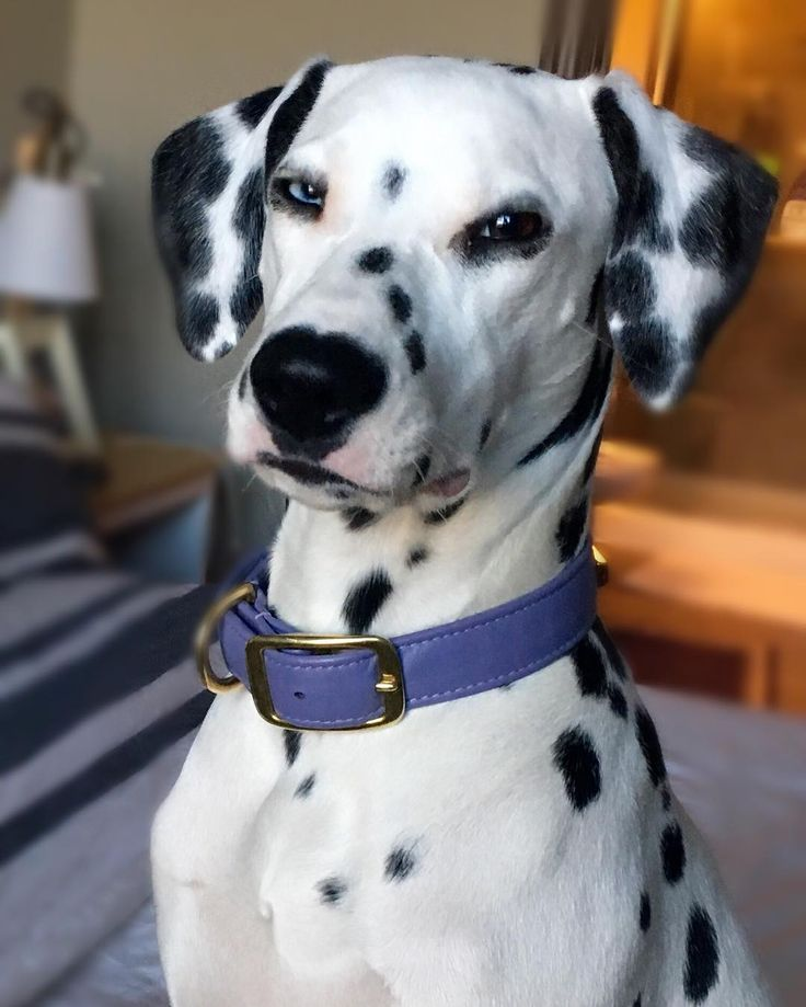 The neighborhood watch Via @blackwhiteandlily #DalmatianNation by dalmatiannation #lacyandpaws