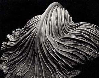 Cabbage Leaf - Edward Weston