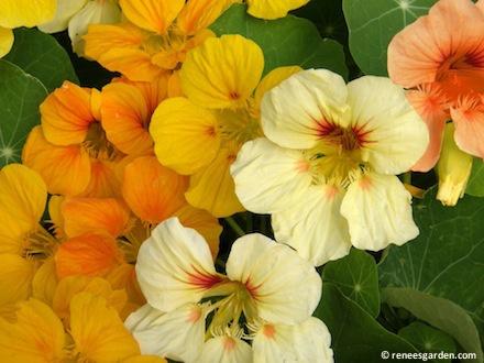 444 best Nasturtiums images on Pinterest Flowers Edible flowers