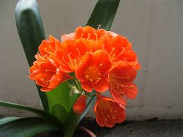 Image result for clivia