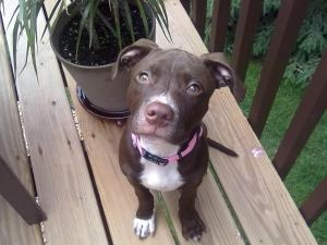 Phillipa  American Staffordshire Terrier/Pit Bull Terrier Mix: An adoptable dog