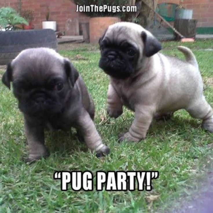 """Who's ready to #Pug party?""  www.jointhepugs.com/  #pugpower #pugsnotdrugs #puglife #puglove #cuteness #pugs #puglover #dogs #animals"
