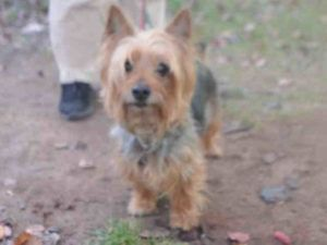 11/18/2016 SUPER URGENT TO BE DESTROYED at 8pm on 11/19/16 Staten Island NYC ADOPT MILO – A1097340 MALE, BROWN / BLACK, SILKY TERRIER MIX, 8 years old, terriers live until 15 years old, ex-pet, microchipped, friendly healthy, allowed all handling, Intake Date 11/19/2016, From NY 10301, Due Out Date 11/19/2016.
