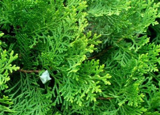 Κυπαρίσσι / Cypress