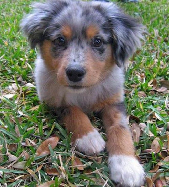 Beagle Australian Shepherd Mix