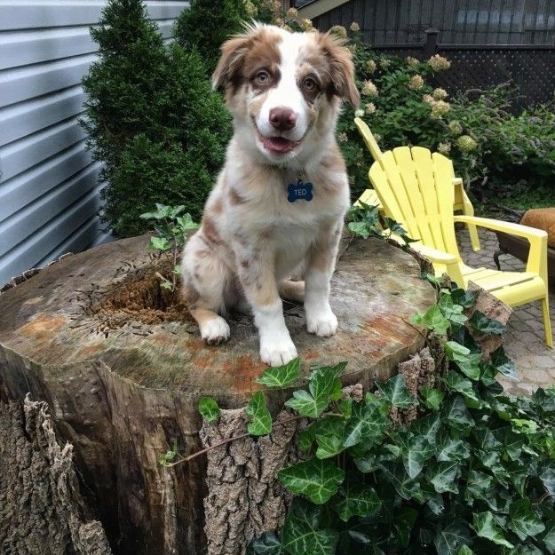 Maintain a safe distance from them at all times. | 17 Reasons Australian Shepherds Are The Worst Possible Breed Of Dog You Could Adopt