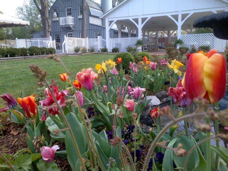 Tulips, Spring 2013