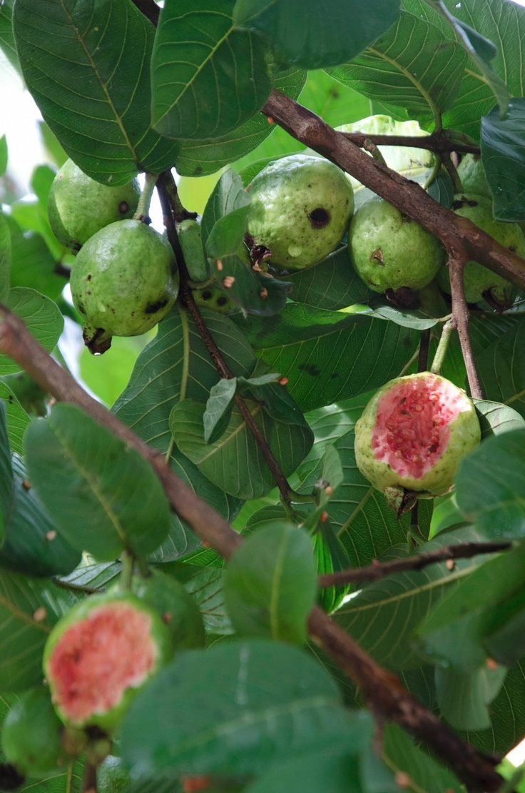 best Érdekes gyümölcsök images on pinterest exotic fruit