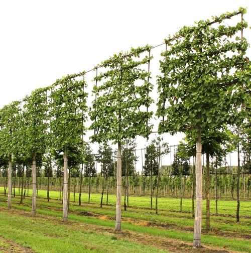 image result for pleached trees