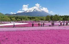 富士山に春の訪れを告げる花の祭典2017富士芝桜まつりが今年も4月15日土から始まりますよ 今年は開催10周年を迎え全面的に新株への植え替えを実施しているため例年よりも綺麗な芝桜を楽しむことができます 富士山うまいものフェスタでお腹を満たしながら春の絶景を堪能しに出かけてみてくださいね tags[山梨県]