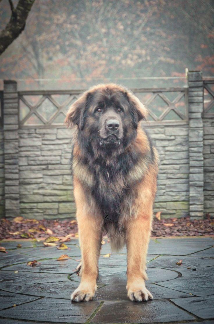 """Otso""   Lempileijonan Aito Suomileijona @Hillhaven  #Leonberger #Hillhaven #Dog #Finland #Pets"