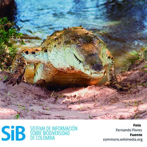 El Crocodylus intermedius, comúnmente llamado caimán llanero, es una especie única de la #biodiversidad de Colombia. La caza indiscriminada por su piel, sus huevos y por ser un peligro considerable para algunas poblaciones han provocado que esté en estado crítico de extinción. Aprende más sobre esta especie http://goo.gl/YqCe0z.