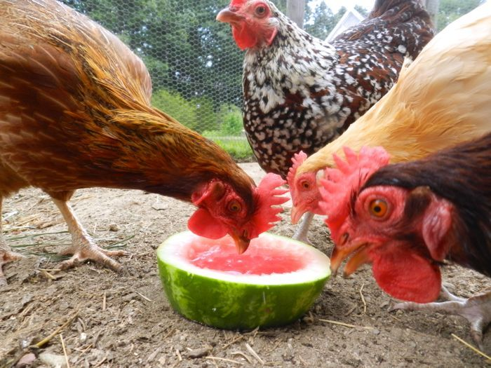 Chickens Get Bored - Watermelon, pumpkins, and other large, hard-shelled foods can be put out for your hens and will keep them busy for hours. These foods are also a healthy addition to their diet