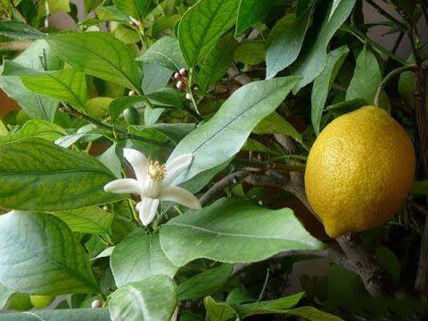 Как вырастить лимон из косточки в домашних условиях с плодами